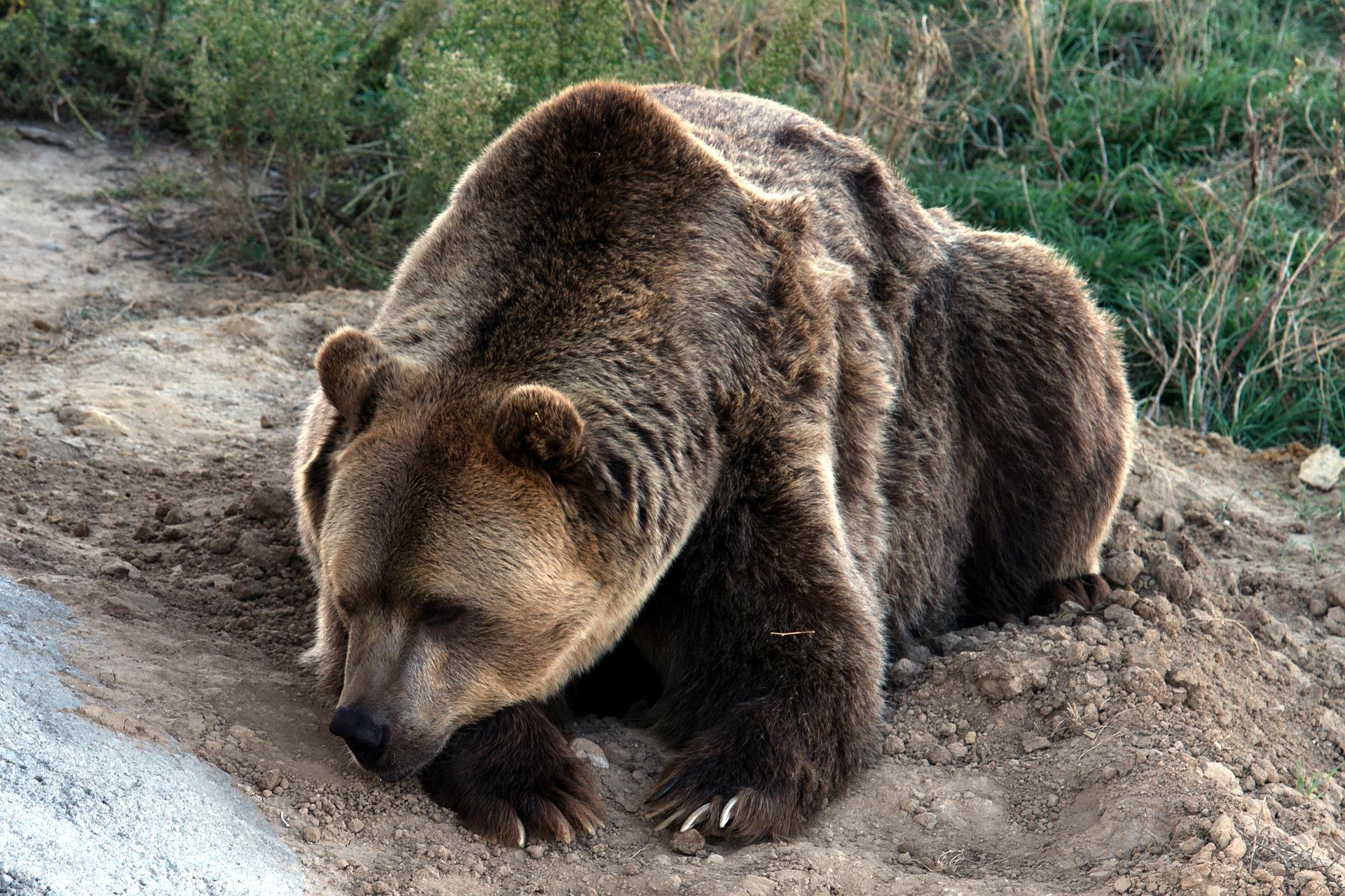 Niedźwiedzia rodzinka szykuje się do snu [VIDEO] - Zdjęcie główne