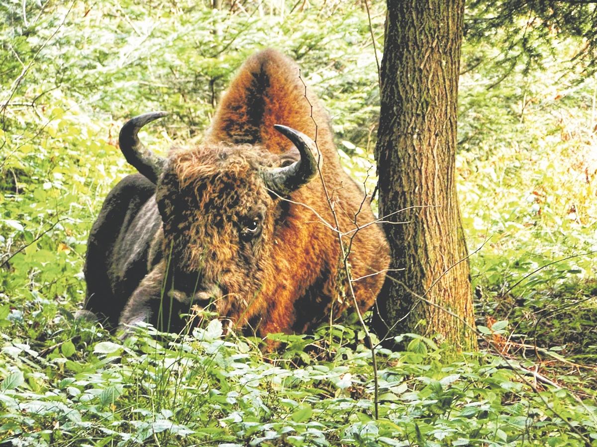 Żubr - król bieszczadzkich lasów - Zdjęcie główne