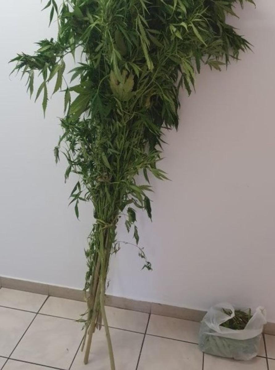 Podkarpacie. 33-latka uprawiała nielegalnie konopie - Zdjęcie główne