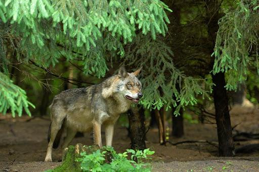Kolejny atak wilków na Podkarpaciu! - Zdjęcie główne