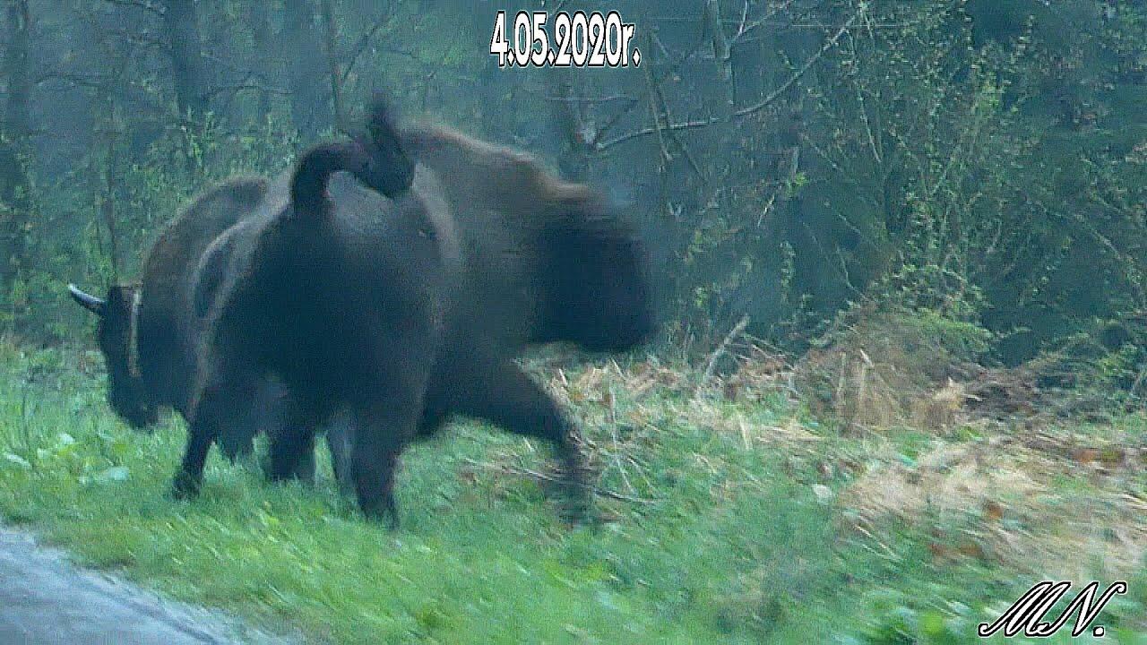 BIESZCZADY. Żubry wyszły na drogę [VIDEO] - Zdjęcie główne