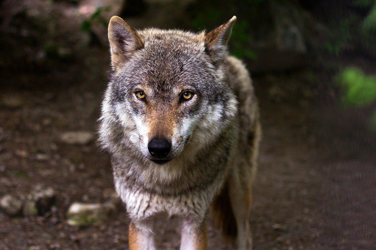 Przyjaźń wilka z ludźmi. Opowiadanie Jędrusia Ciupagi - Zdjęcie główne