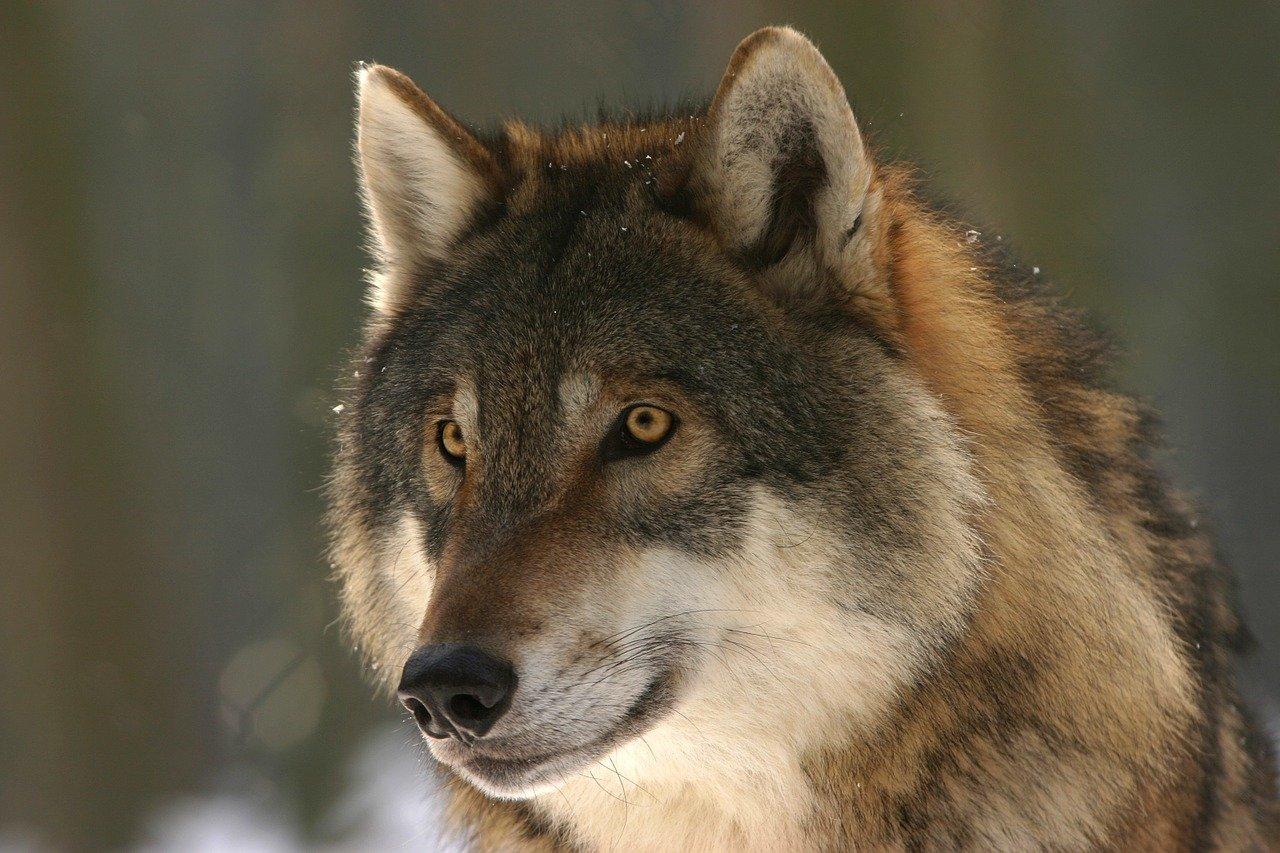 Podkarpacie: Wilki zaatakowały pilarzy. Nie chciały odpuścić - Zdjęcie główne
