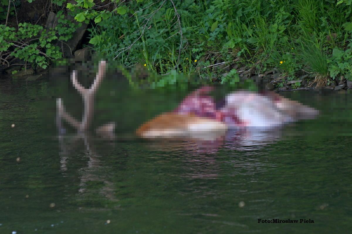 Jeleń - danie dla wilków [Uwaga! Drastyczne zdjęcia] - Zdjęcie główne