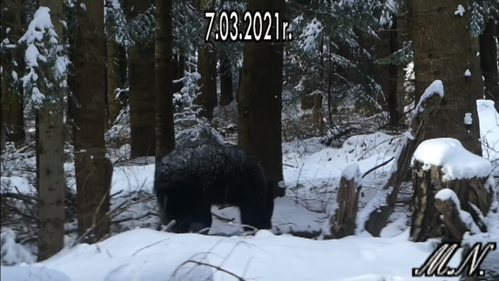 Stanął oko w oko z niedźwiedziem w Bieszczadach [WIDEO] - Zdjęcie główne