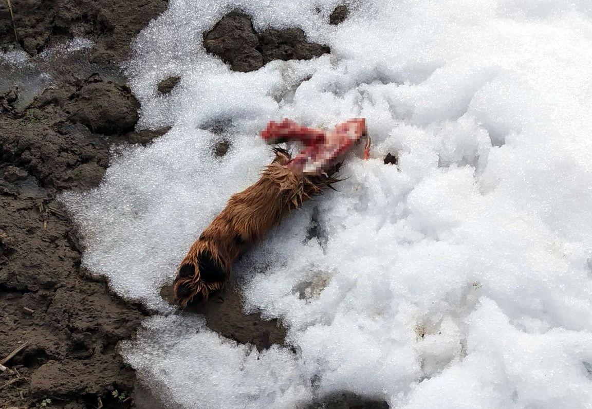 Wilki zaatakowały gospodarstwo domowe w Jędruszkowcach [ZDJĘCIA] - Zdjęcie główne