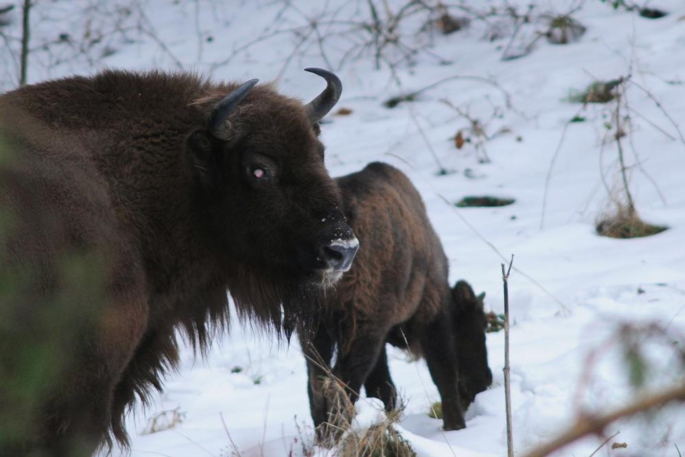 BIESZCZADY: Żubry przygotowują się do zimowania - Zdjęcie główne