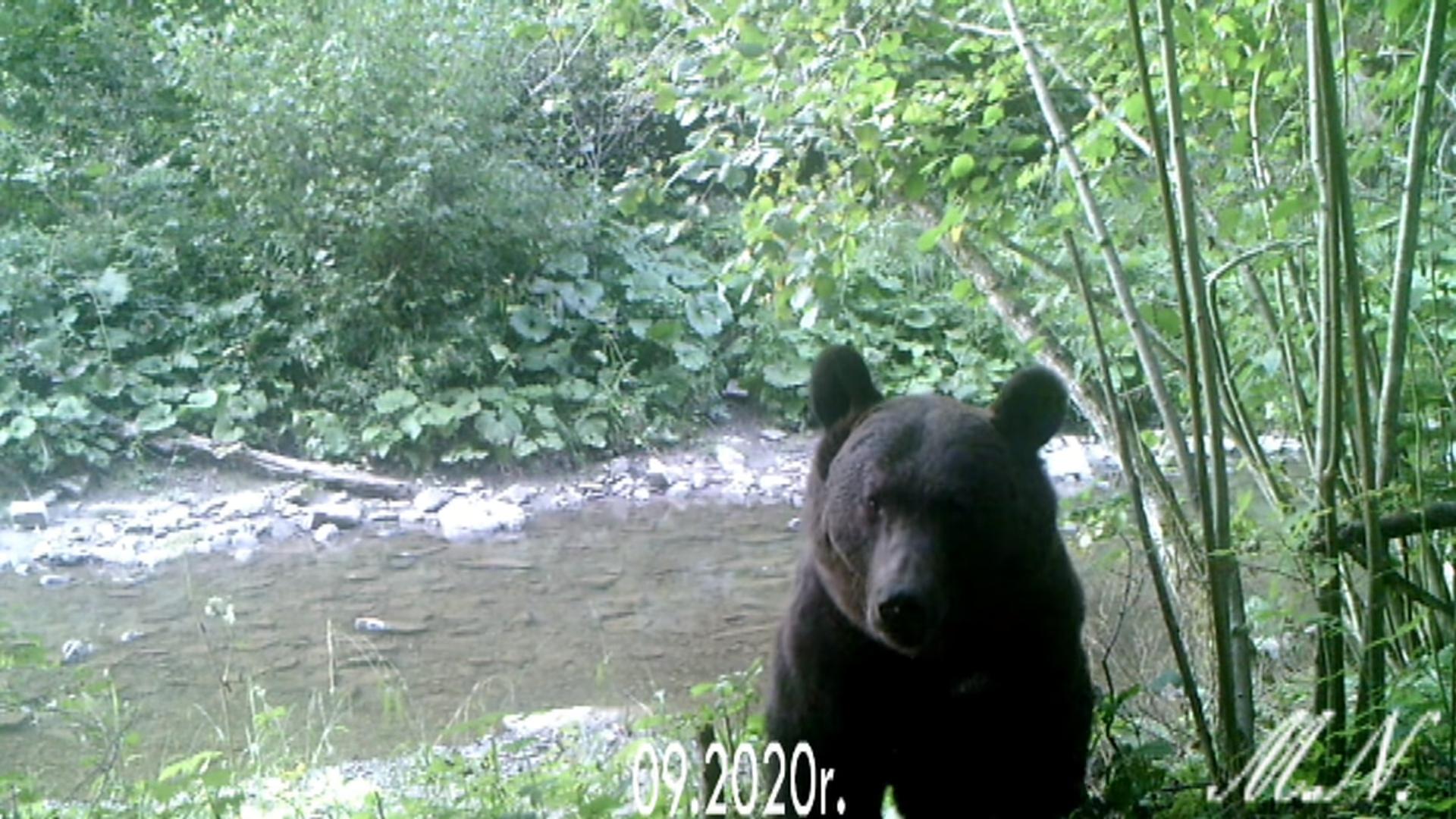 Bieszczady. Oko w oko z niedźwiedziem brunatnym [VIDEO] - Zdjęcie główne