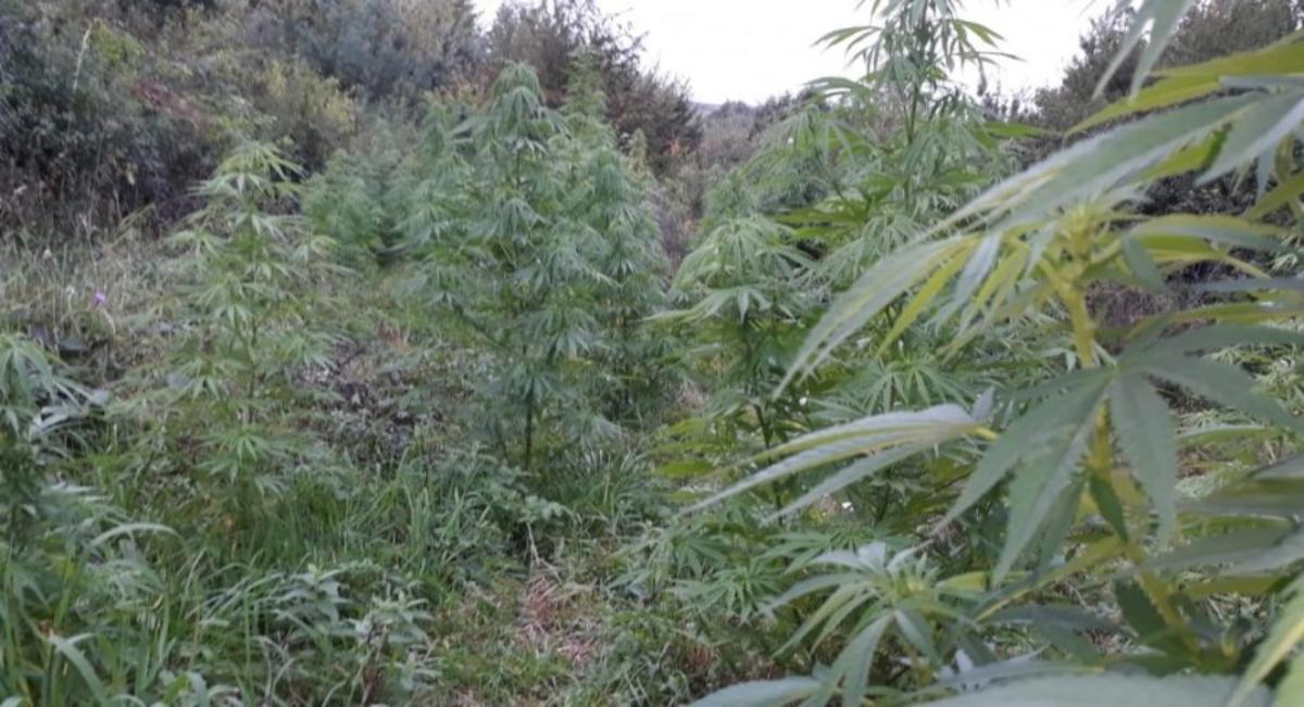 Podkarpacie. 30-latek usłyszał zarzuty uprawy narkotyków [FOTO] - Zdjęcie główne