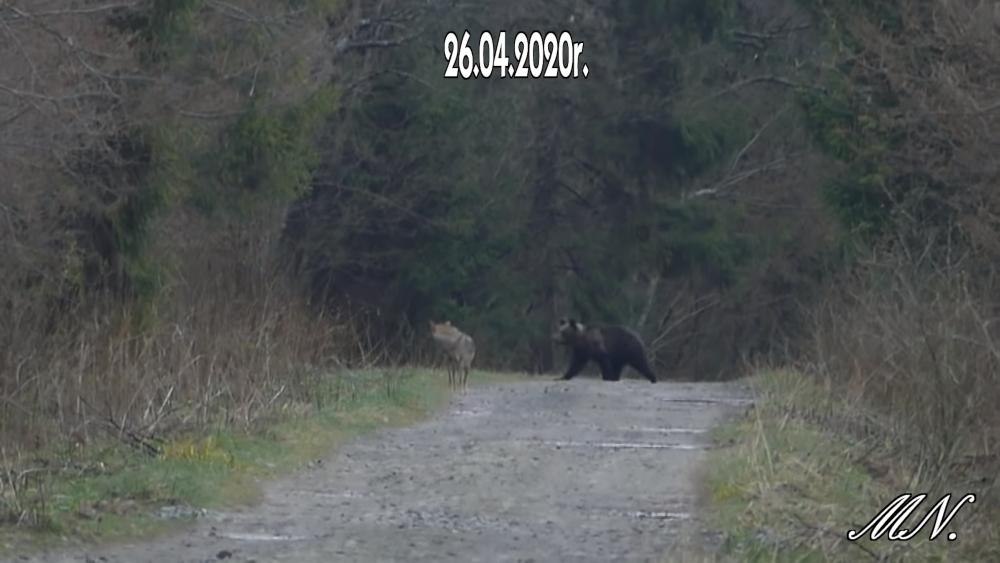 Niedźwiedź i wilk spotykają się w Bieszczadach [FOTO VIDEO] - Zdjęcie główne