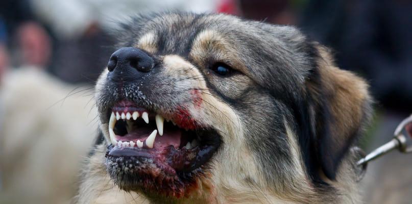 UWAGA! Po ulicy Jana Pawła II biega groźny pies! Doszło do pogryzienia młodej kobiety!  - Zdjęcie główne