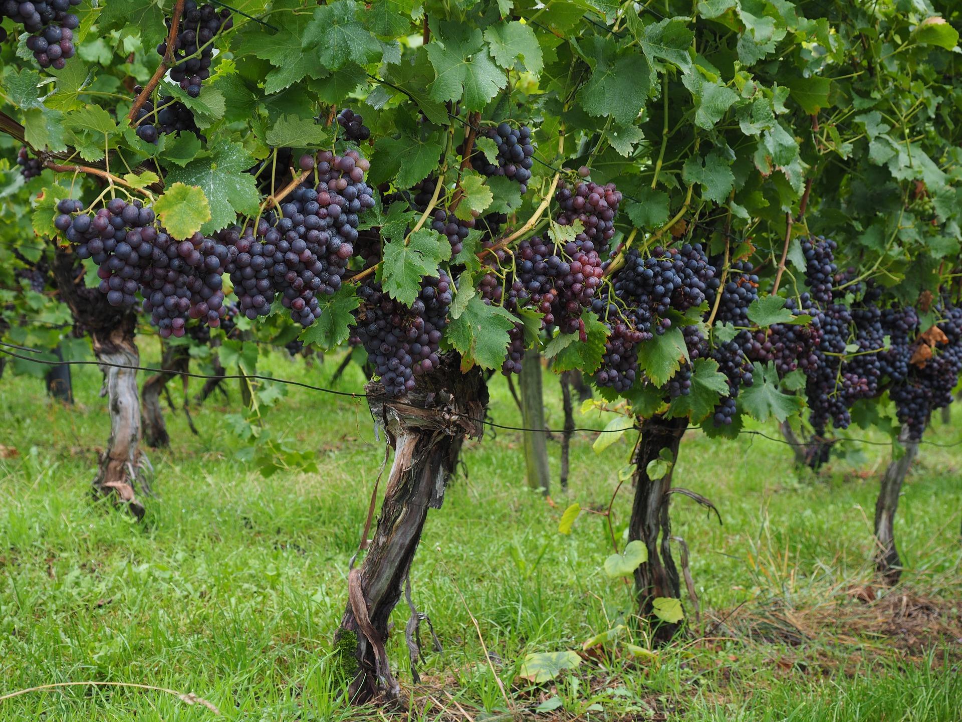 Karpacki Szlak Wina zabiera gości na podróże po jednym z najwspanialszych regionów winiarskich w Polsce  - Zdjęcie główne