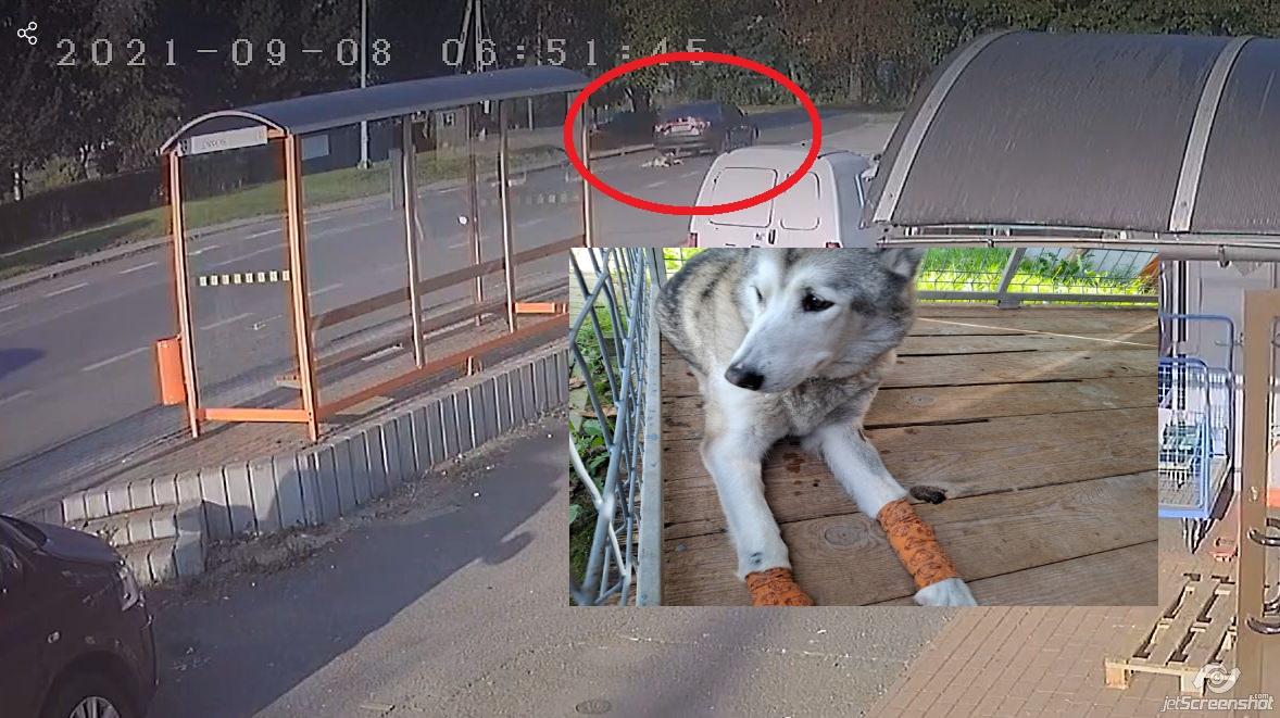 Areszt dla 67-letniej kobiety która ciągnęła psa za samochodem! [DRASTYCZNE WIDEO] - Zdjęcie główne