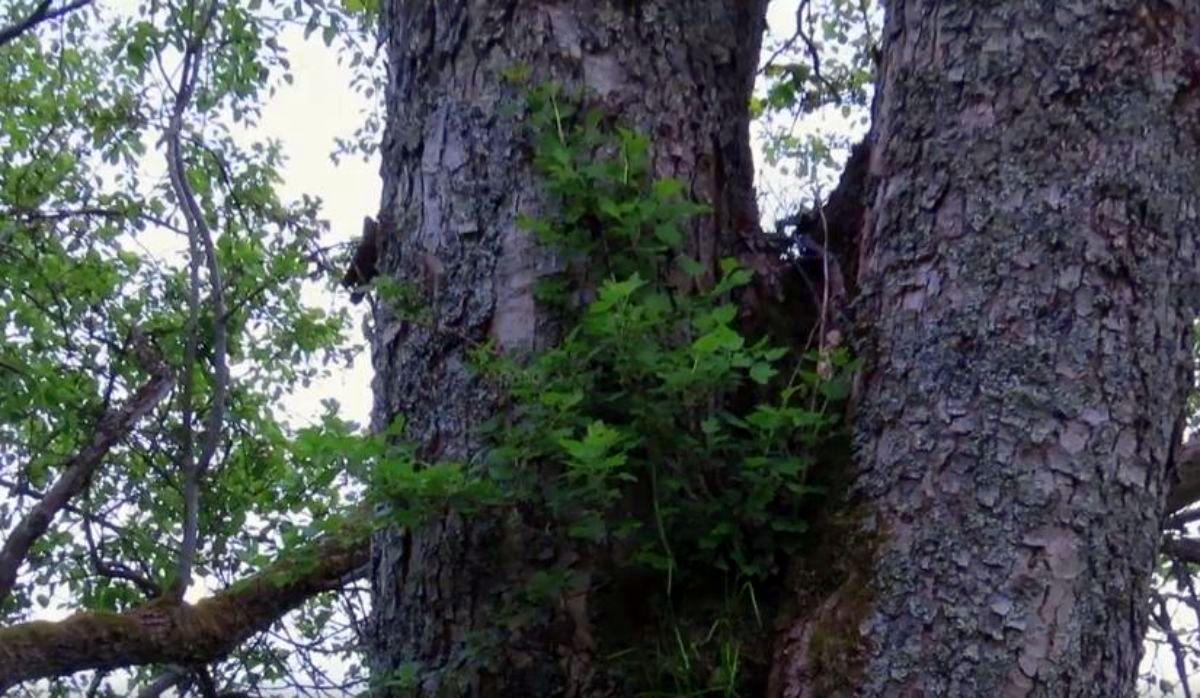 BIESZCZADY: Krzew owocowy na drzewie? Tak agrest na jaworze! [VIDEO] - Zdjęcie główne