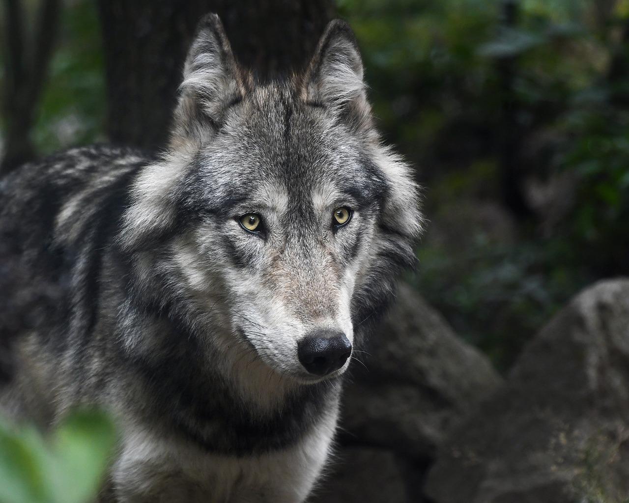 Zezwolili na płoszenie wilków. Zachowajcie ostrożność! - Zdjęcie główne