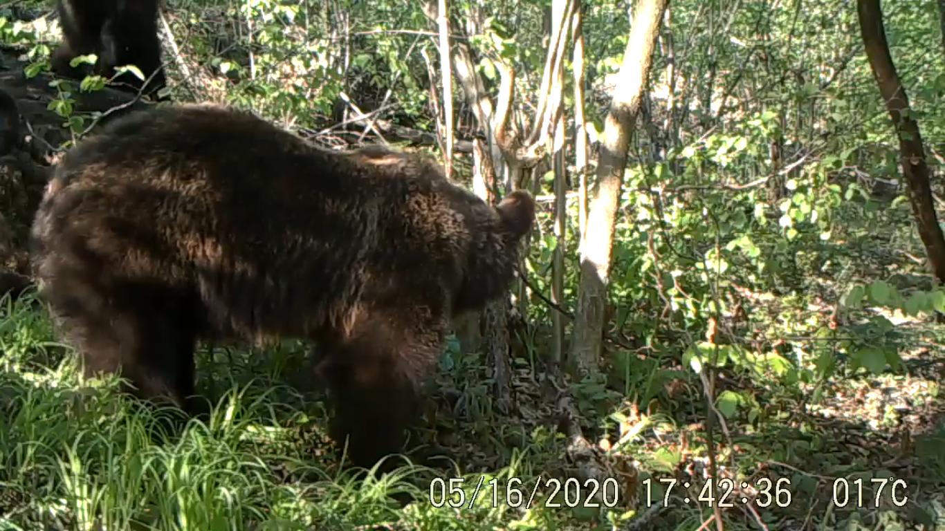 Niedźwiedzie grasujące w leszczynowym gaju [VIDEO] - Zdjęcie główne