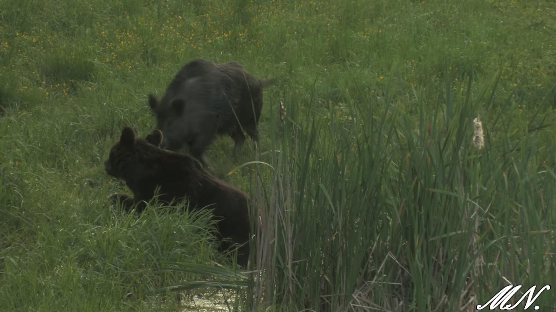 Niedźwiedź i dzik spotykają się w Bieszczadach. Nie uwierzysz co się stało [VIDEO] - Zdjęcie główne
