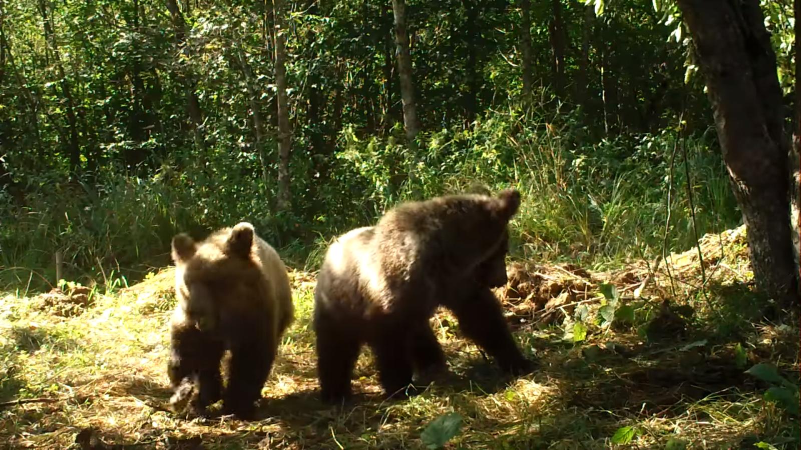 Bieszczady: Niedźwiadki buszujące w starym sadzie [VIDEO] - Zdjęcie główne