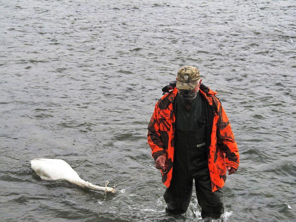 Martwy łabędź znaleziony obok ujęcia wody pitnej w Zagórzu [FOTO] - Zdjęcie główne