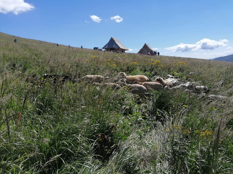 Połonina Wetlińska. Przy bacówce pasą się już owce! [FOTO] - Zdjęcie główne
