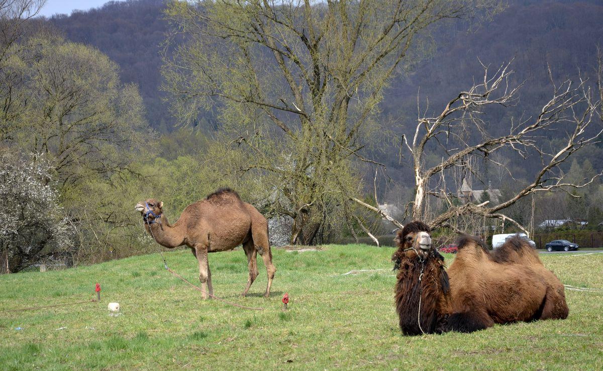 Wielbłądy nad Sanem - Zdjęcie główne