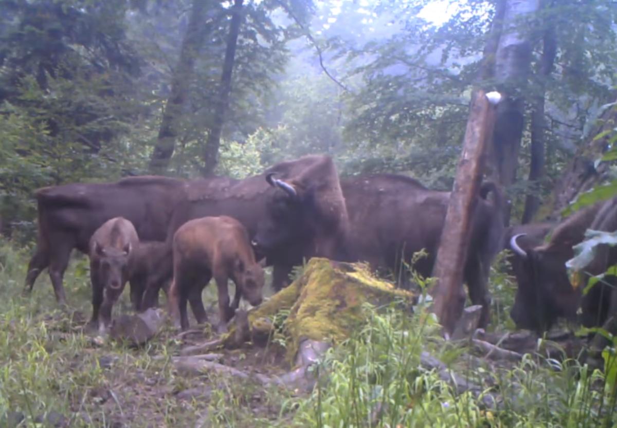 BIESZCZADY: Zobaczcie przepiękne stado Baligrodzkich żubrów [VIDEO] - Zdjęcie główne