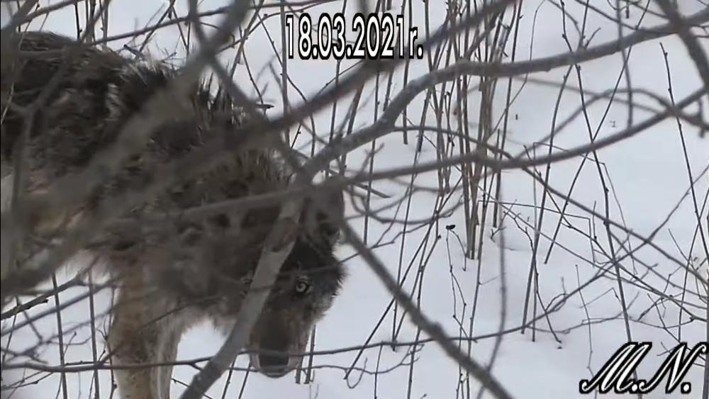 W Bieszczadach spotkał wilka. Zwierzę stanęło z nim oko w oko [VIDEO] - Zdjęcie główne