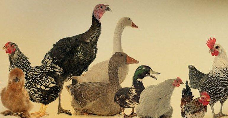 Ognisko wyjątkowo groźnej ptasiej grypy na Podkarpaciu - Zdjęcie główne
