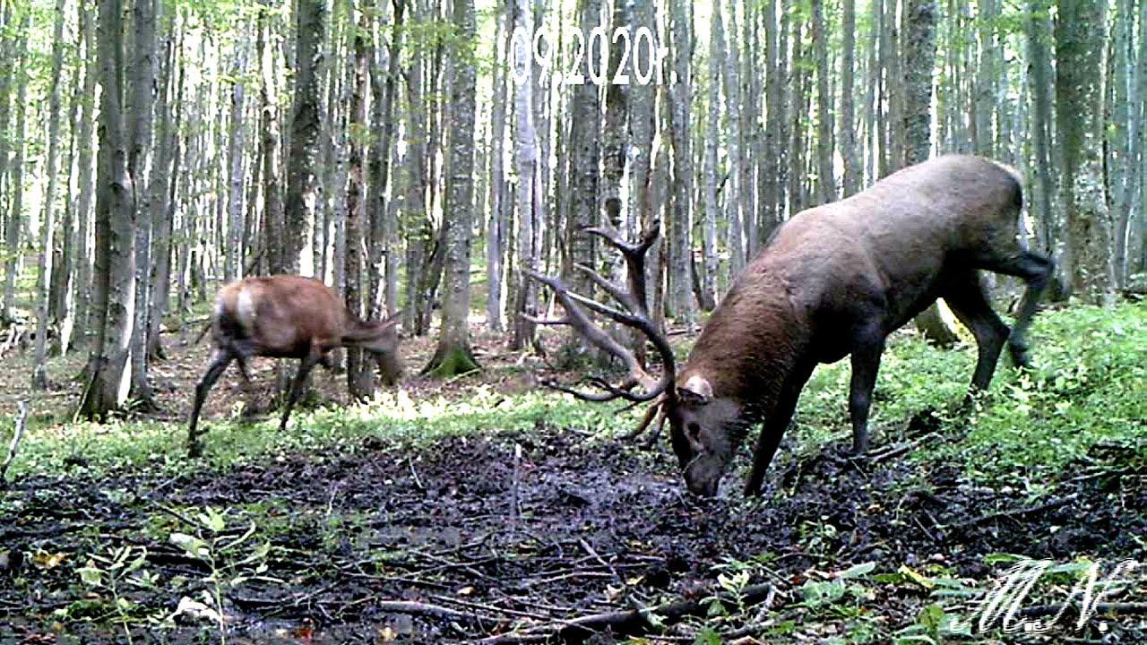 Bieszczady. Rykowisko jeleni nagrane przez leśnika! [VIDEO] - Zdjęcie główne